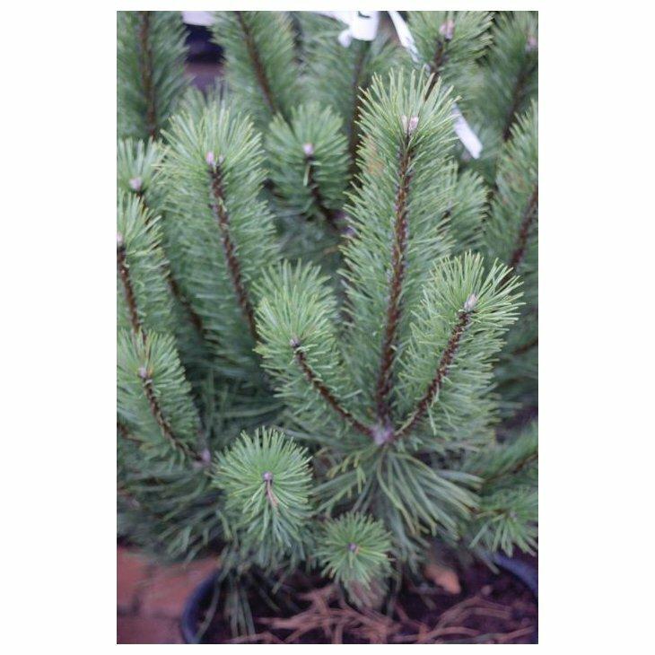 Fransk bjergfyr - Pinus uncinata (Rostrata) 20-40 cm