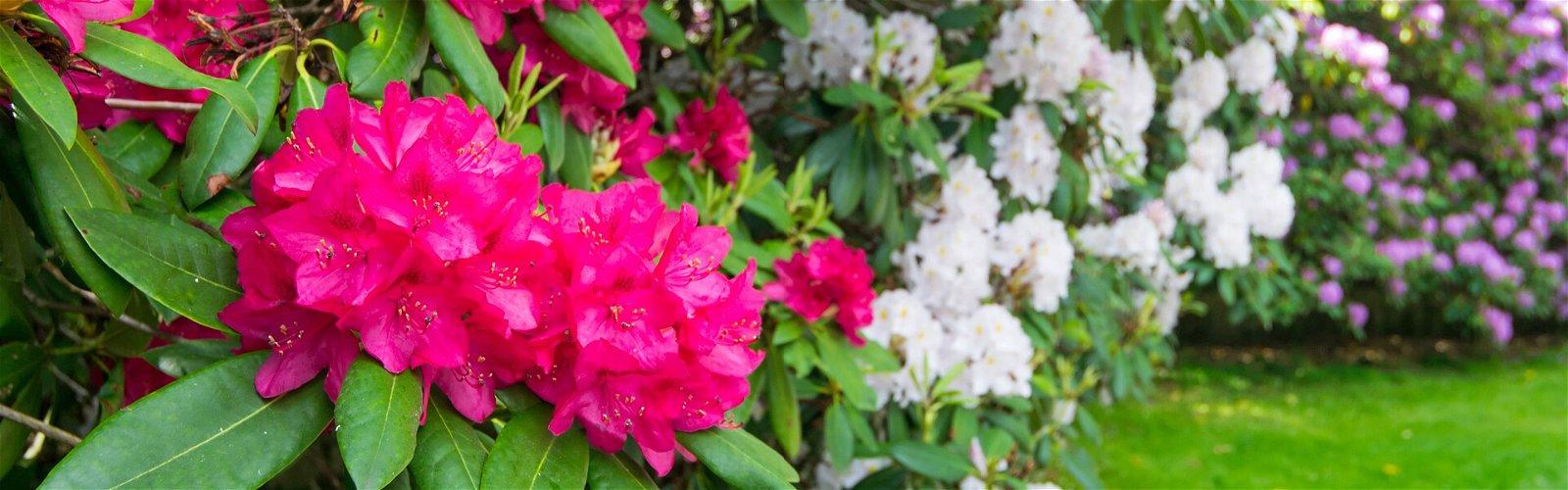 Rhododendronbuske i flotte farver