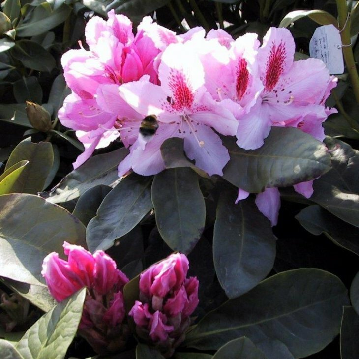 Rhododendron c. 'Furnivals Daughter'
