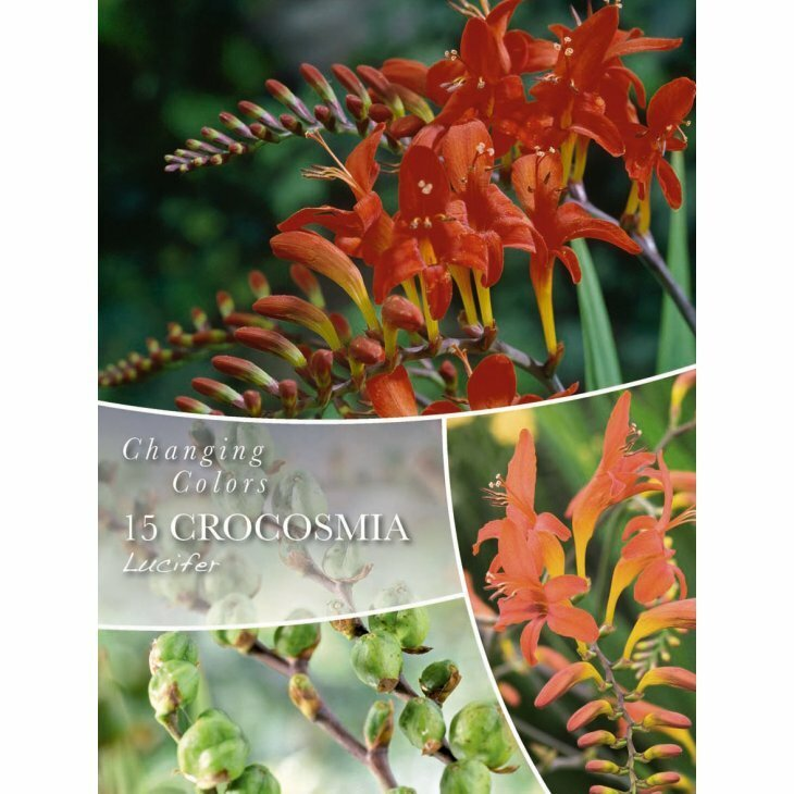 CROCOSMIA LUCIFER - MOMBRESIA