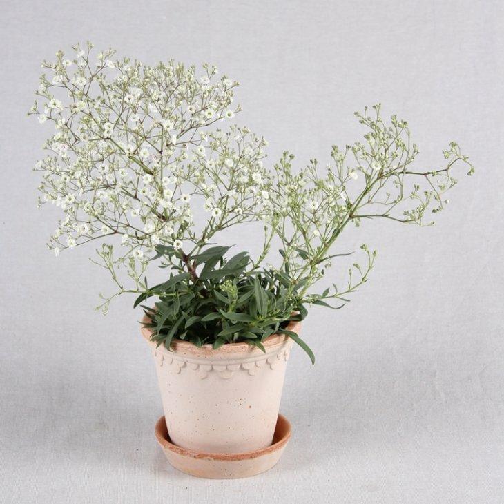 Brudeslør - Gypsophila pan. 'White Festival'