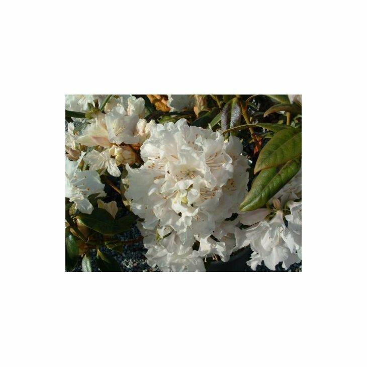 Rhododendron carolinianum 'Dora Amateis' i 2 l potte