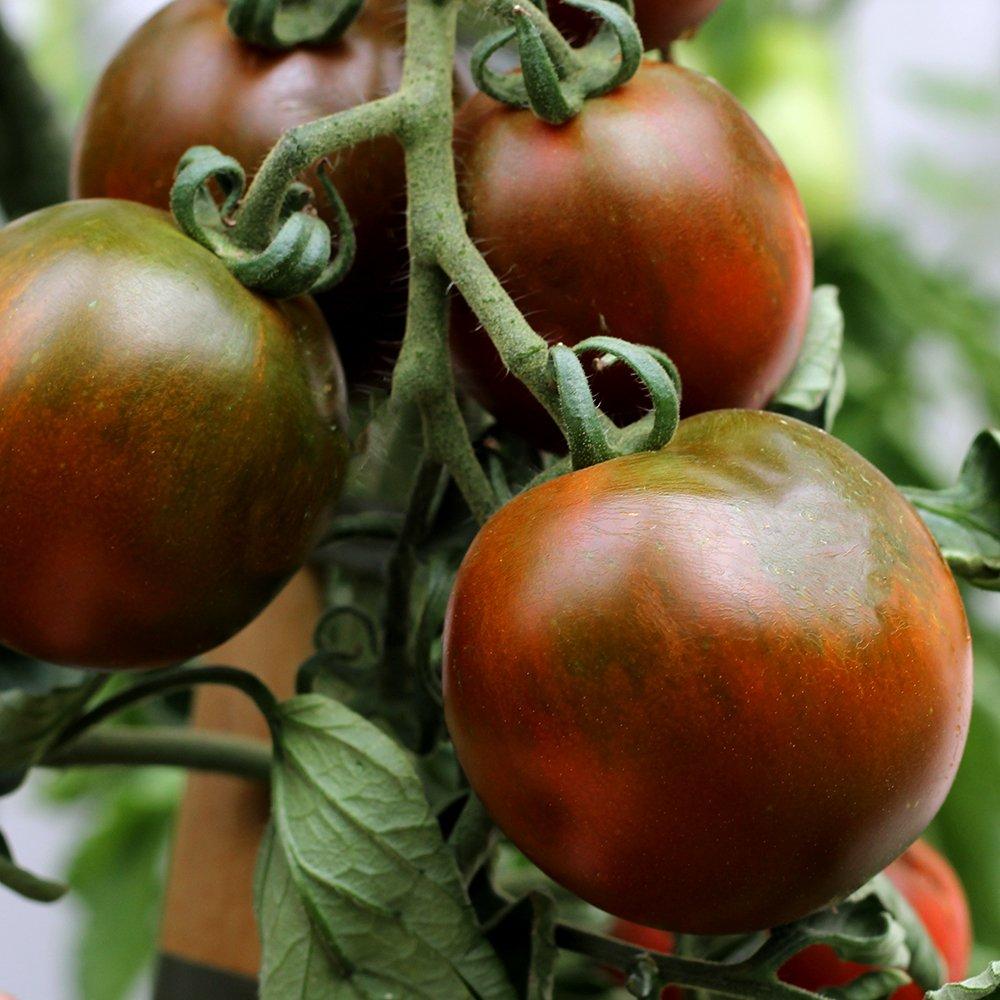 Almindelig tomat Chocopervia