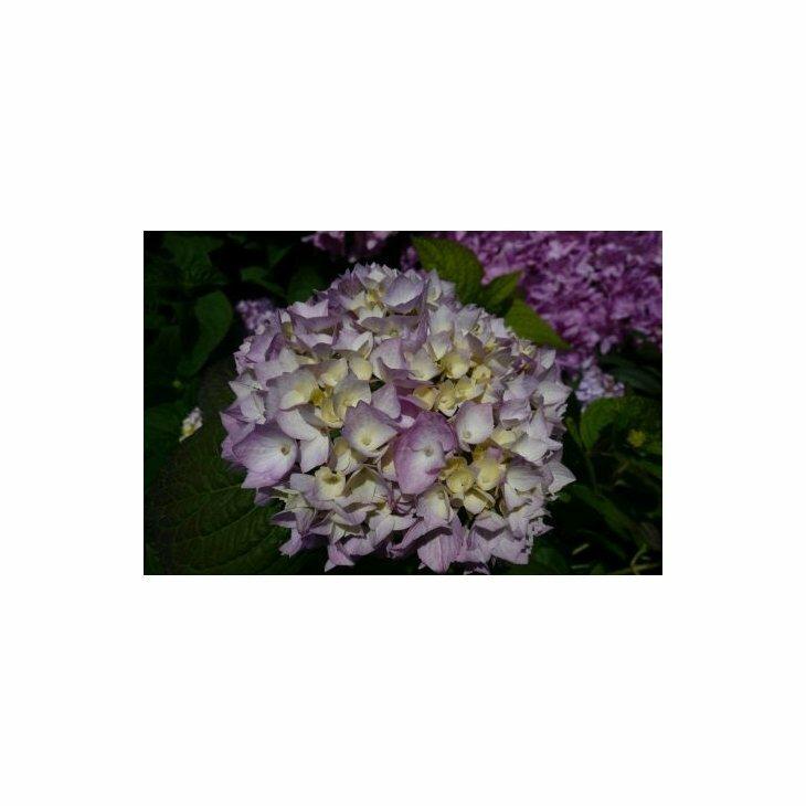 Havehortensia - Hydrangea macr. 'Endless Summer' i 5 l potte