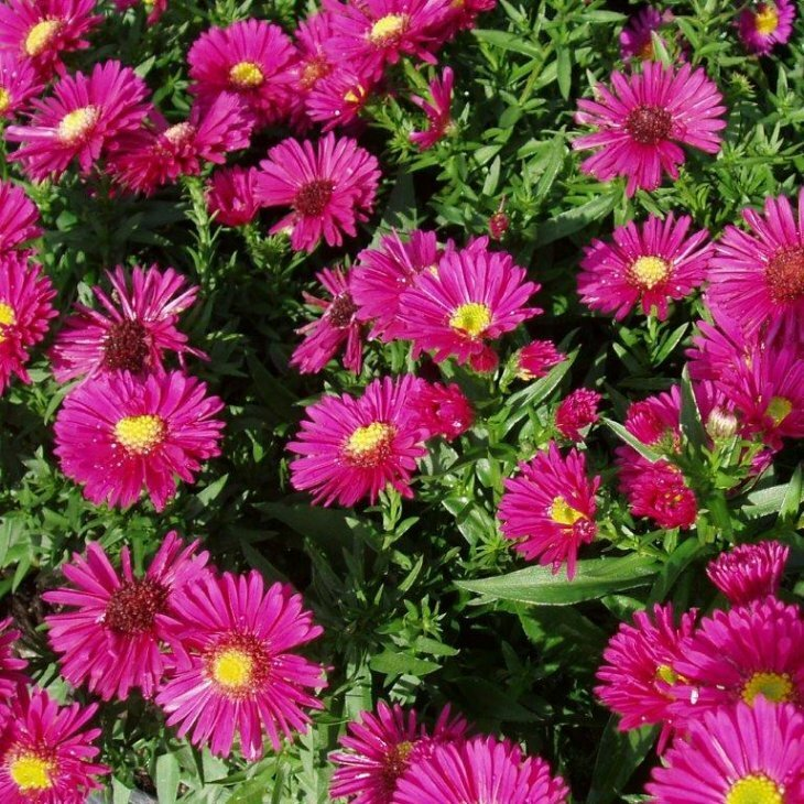 Asters  Aster dumosus 'Starlight' i 1 l potte