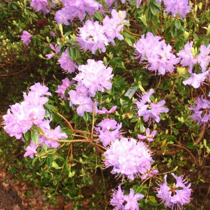 Rhododendron impeditum 'Blue Tit' i 2 l potte