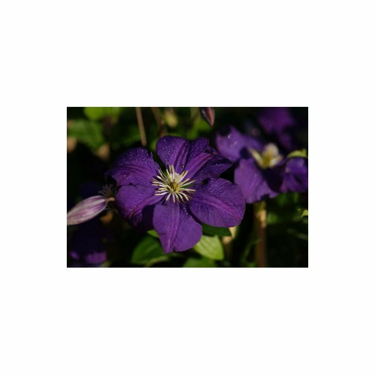 Italiensk skovranke - Clematis viticella 'Etoile Violette' i 2 l potte