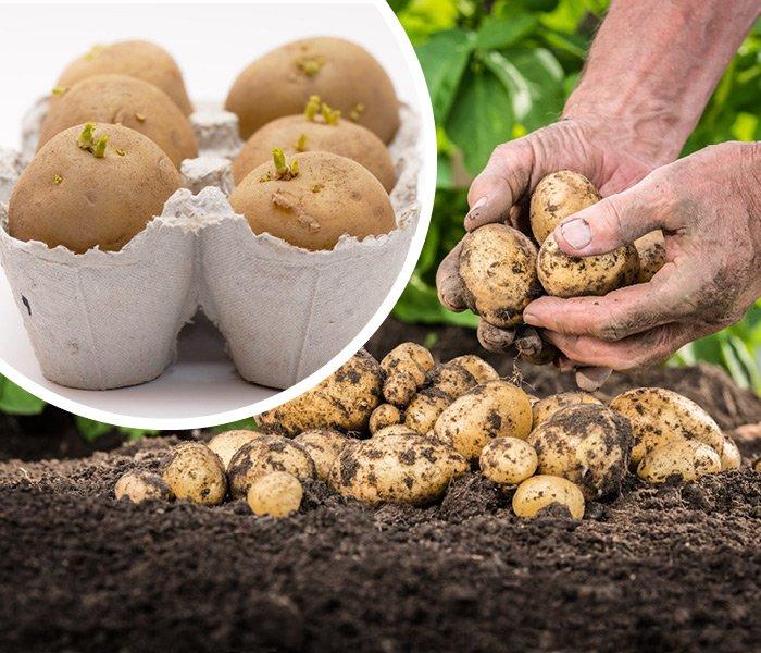Hjemmedyrkede kartofler