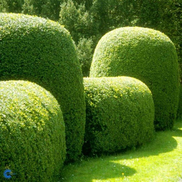Buksbom - Buxus sempervirens kugle