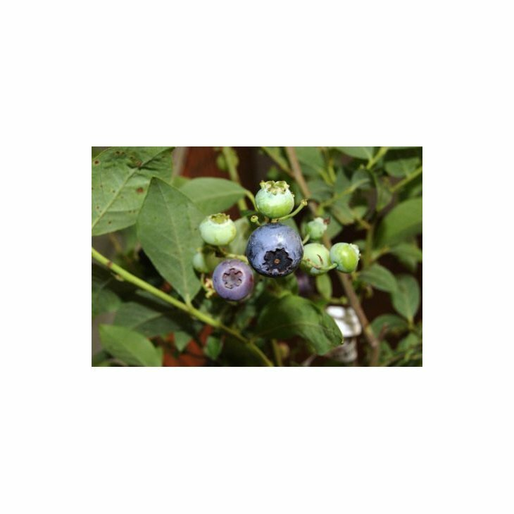 Blåbærbusk storfrugtet - Vaccinium cor. 'Reka' i 2 L potte