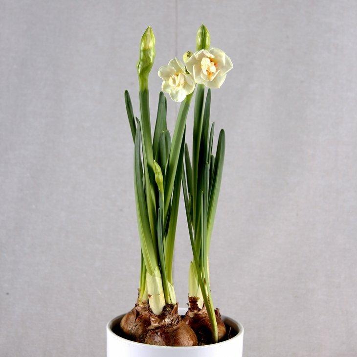 Narcissus 'Bridal Crown' 3 løg i potten