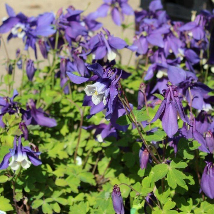 Akeleje - Aquilegia caerulea 'Spring magic blue/white' i 1 l potte