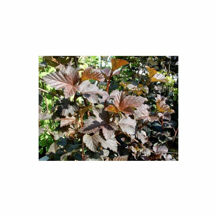 Blærespiræa - Physocarpus opulifolius 'Diabolo' i 5 l potte