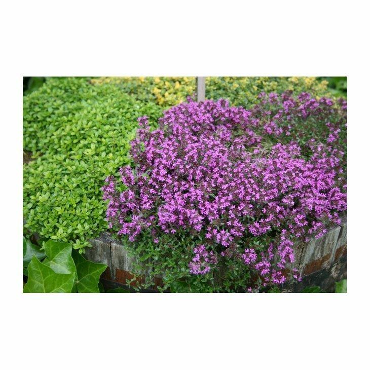 Smalbladet timian - Thymus praecox Coccineus