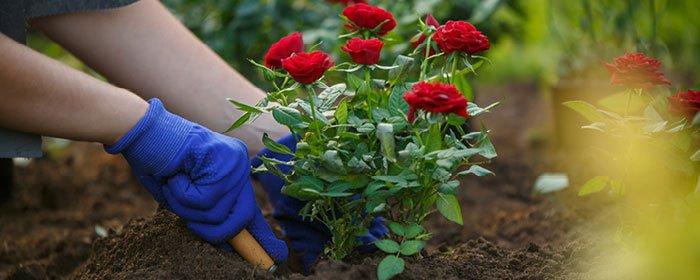 Plantning af roser