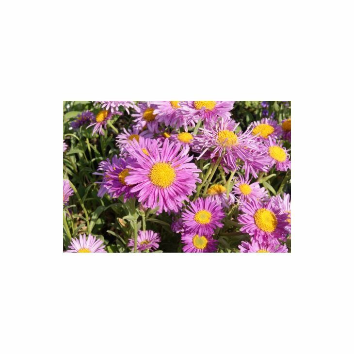 Asters - Aster alpinus 'Happy End' i 1 l potte
