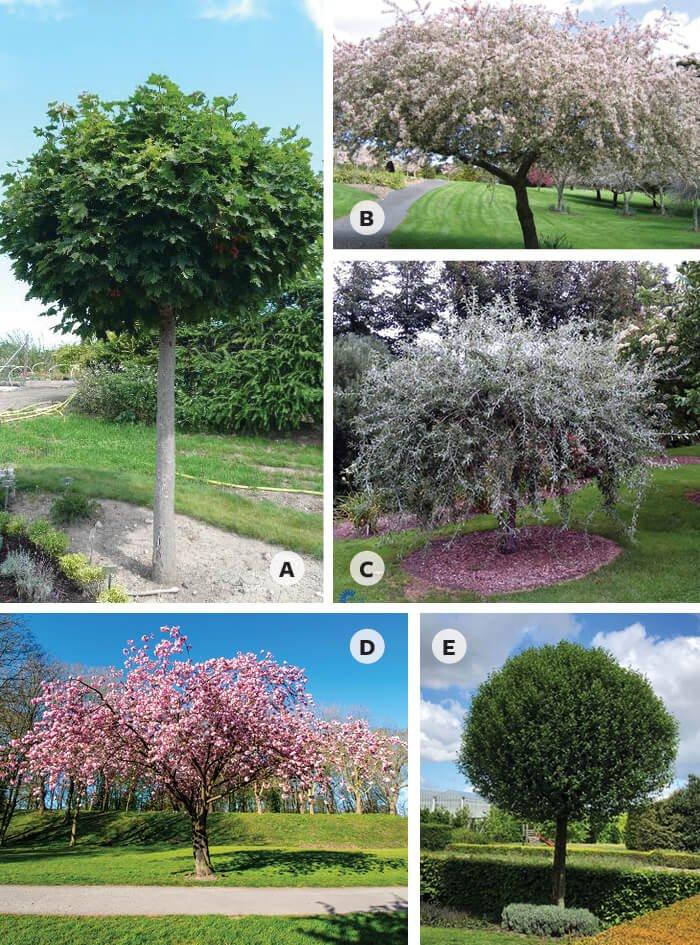 5 forskellige mellemstore træer