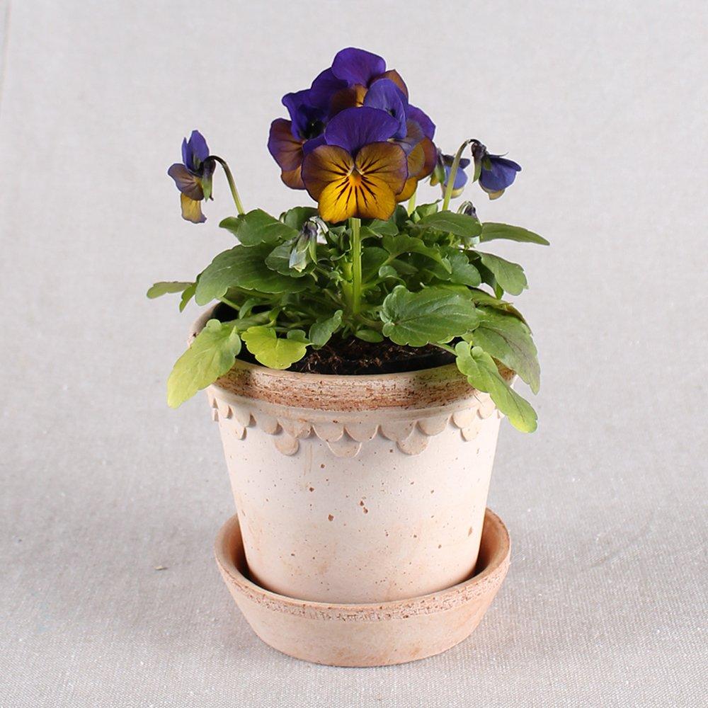 Hornviol - Viola cornuta nr. 7