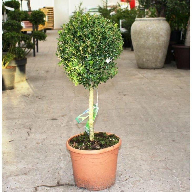 Buksbom - Buxus sempervirens på stamme