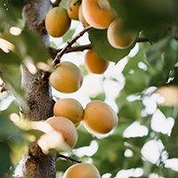 Abrikostræ Orangered