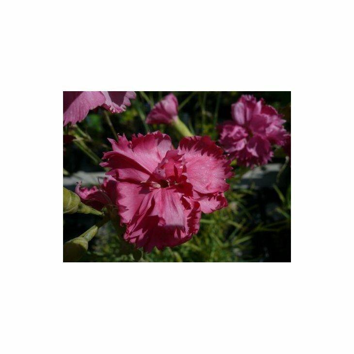Havenellike - Dianthus caryophyllus, rosa i 1 l potte