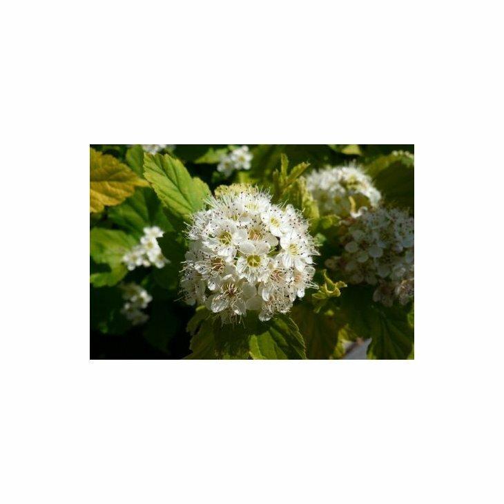 Blærespiræa - Physocarpus opu. 'Dart's Gold' i 5 l potte