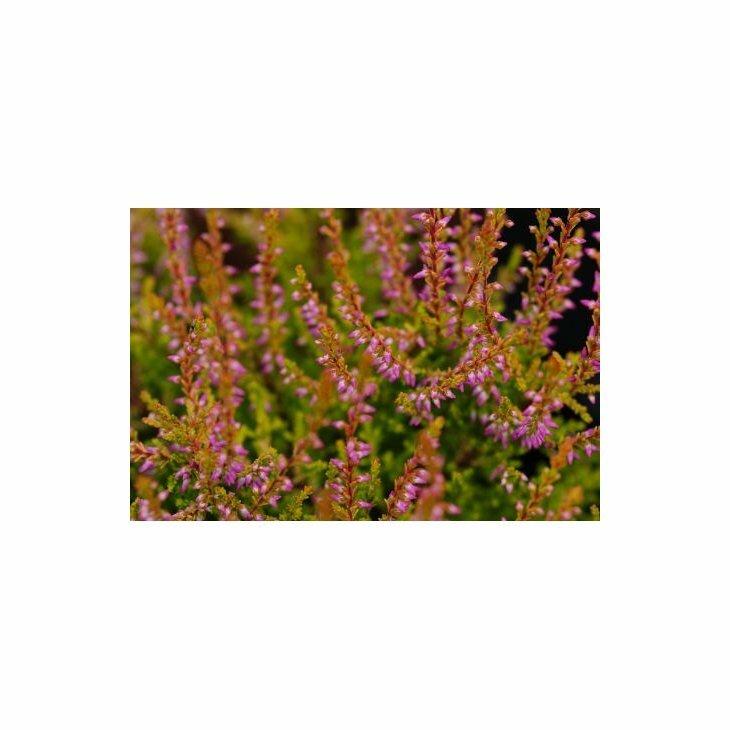 Efterårslyng - Calluna vulgaris 'Bonita'