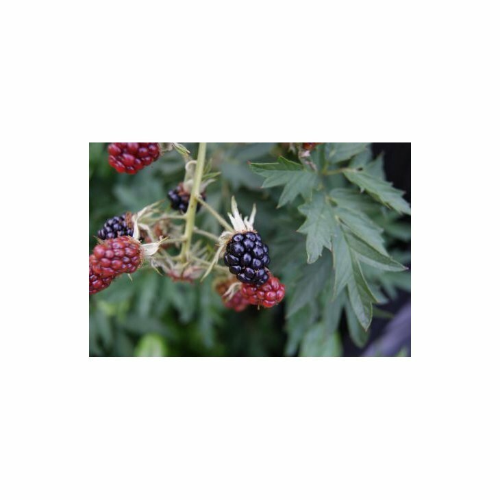 Brombærbusk - Rubus 'Thornless Evergreen' i 2 l potte