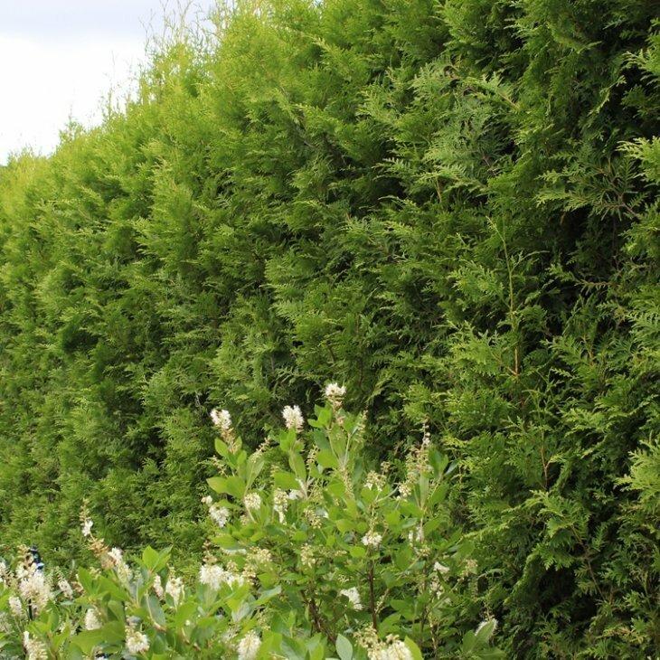 Hækthuja - Thuja occidentalis 'Brabant' 80-100 cm