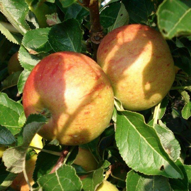 Æbletræ Coxs Orange