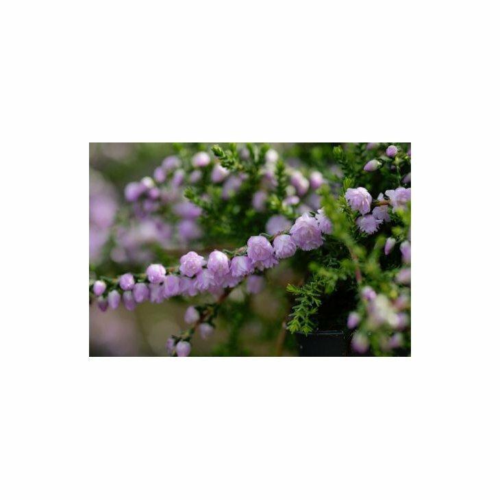 Efterårslyng - Calluna vulgaris 'County Wicklow'