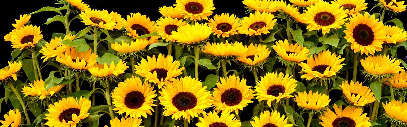 Gule sommerblomster