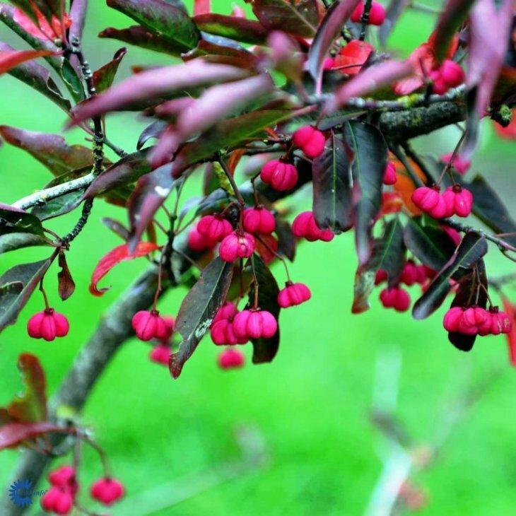 Benved - Euonymus europaeus 'Red Cascade' i 5 l potte