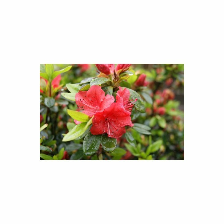 Rhododendron obt. 'Geishia Orange' i 2 l potte