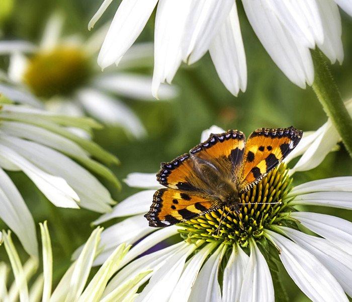 Sommerfugl i blomst