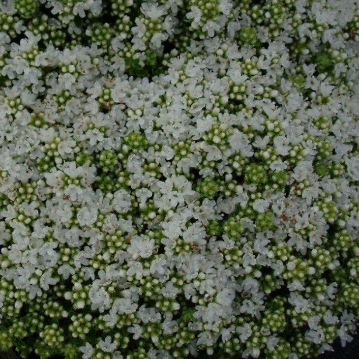 Smalbladet Timian - Thymus praecox 'Albiflorus'
