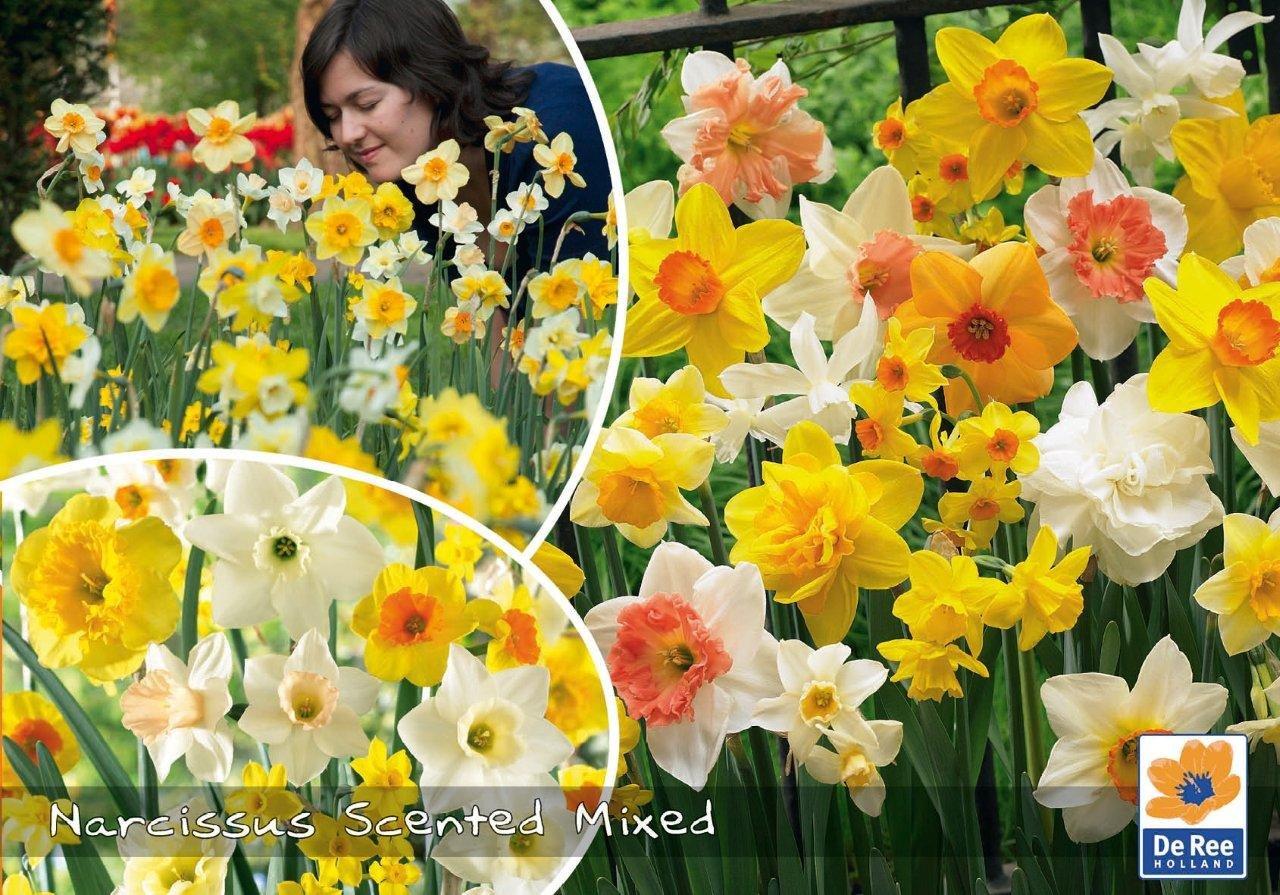 Narcissus Scented Mixed - Påskeliljer 50 løg
