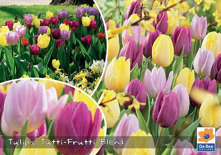 Tulipaner Tutti Frutti Blend - gule og rosa farver - Landscape 30 løg