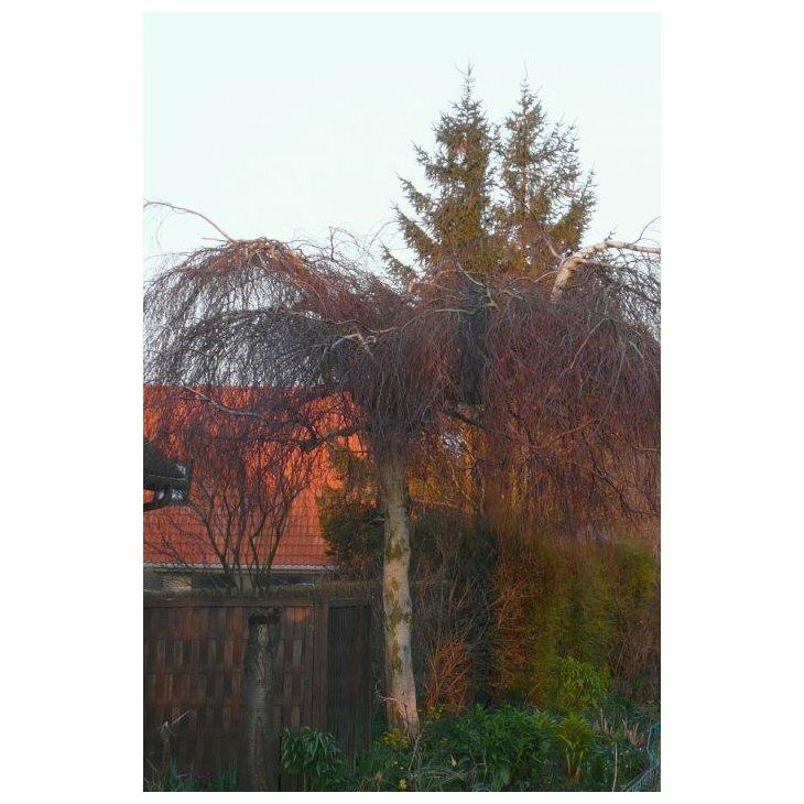 Hængebirk - Vortebirk - Betula pendula 'Youngii'