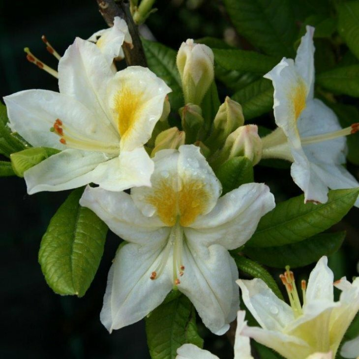 Rhododendron knaphill 'Persil'
