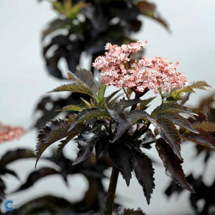 Hyldbærtræ rødbladet - Sambucus nigra 'Black Tower i 5 l potte