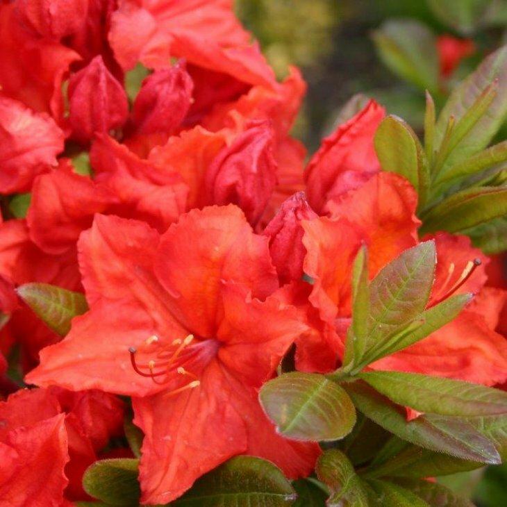 Rhododendron knaphill 'Feuerwerk' i 5 l potte