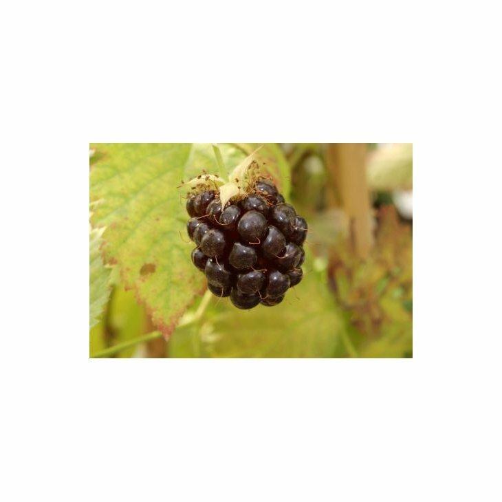 Boysenbærbusk - Rubus 'Boysenberry' i 1,5 l potte