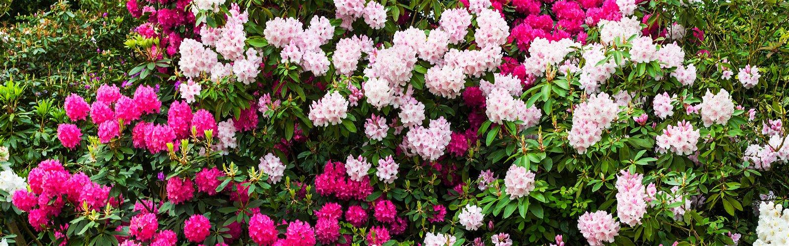 Rhododendronbuske
