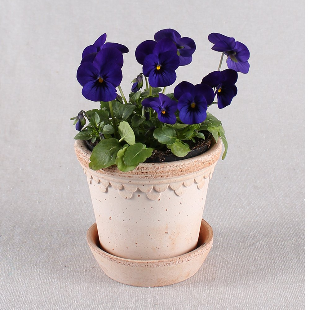 Hornviol - Viola cornuta nr. 13