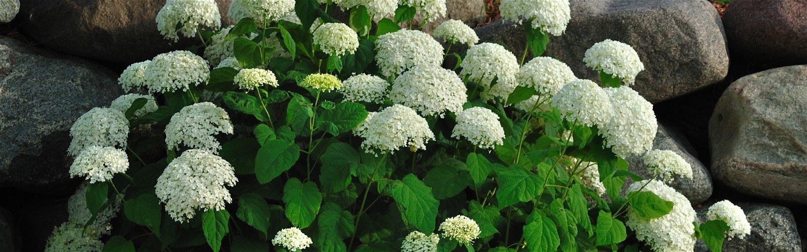 Hortensia busk