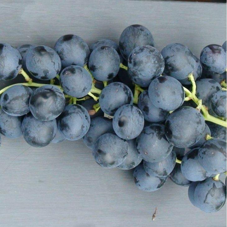 Vindrue 'Rondo' blå til vin i 2 l potte