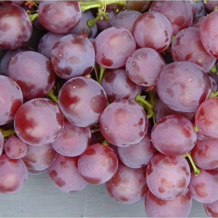 Vindrue 'Einset' rød kerneløs i 4 l potte