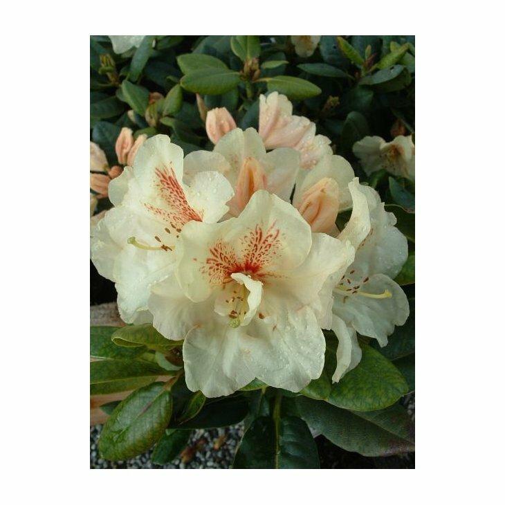Rhododendron 'Goldbukett' i 5 l potte