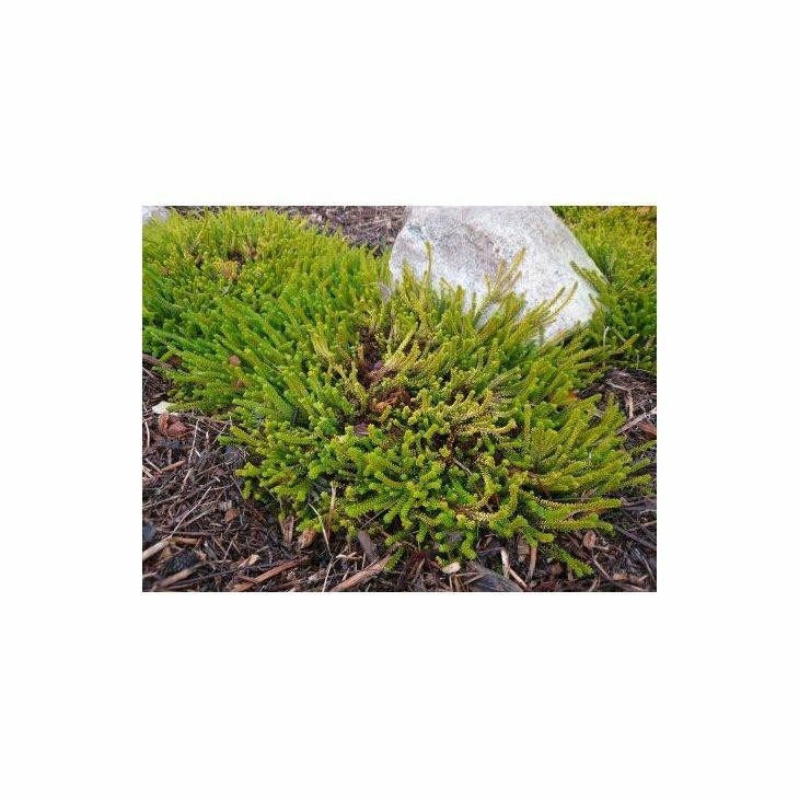 Revling/sortebærplanter - Empetrum nigrum 'Bernstein' i 10 cm potte